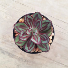 Load image into Gallery viewer, Echeveria nodulosa