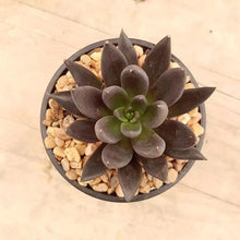 Load image into Gallery viewer, Echeveria Black Knight