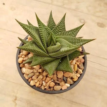 Load image into Gallery viewer, Haworthia limifolia Twister