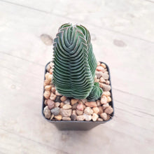Load image into Gallery viewer, Crassula Buddhas Temple