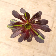Load image into Gallery viewer, Aeonium Big Bang