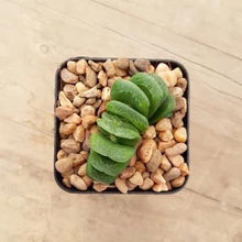 Load image into Gallery viewer, Haworthia truncata Lime Green