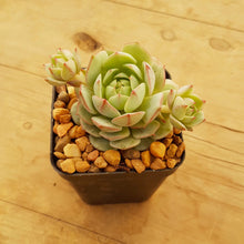 Load image into Gallery viewer, Echeveria Derenbergii