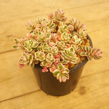 Load image into Gallery viewer, Sedum Tricolour