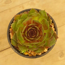 Load image into Gallery viewer, Sempervivum Granby