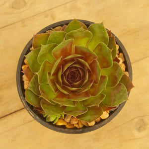 Sempervivum Granby