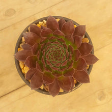 Load image into Gallery viewer, Sempervivum Gabrielle