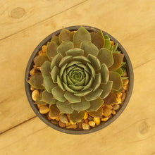 Load image into Gallery viewer, Sempervivum Blue Boy