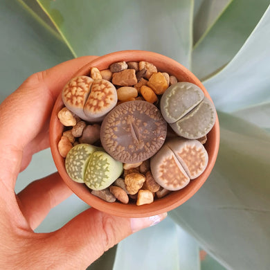 Assorted Lithops 5 Pack