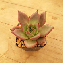 Load image into Gallery viewer, Echeveria agavoides Romeo