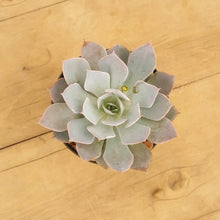 Load image into Gallery viewer, Echeveria Canadian Sub