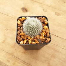 Load image into Gallery viewer, Rebutia muscula