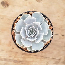 Load image into Gallery viewer, Echeveria lilacina