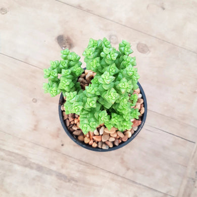 Crassula Tom Thumb