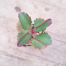 Load image into Gallery viewer, Kalanchoe sexangularis