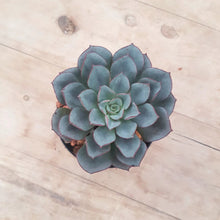Load image into Gallery viewer, Echeveria Moranii