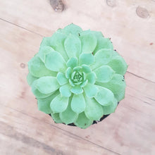 Load image into Gallery viewer, Echeveria Dondo