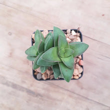 Load image into Gallery viewer, Crassula Springtime