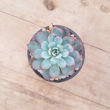 Load image into Gallery viewer, Echeveria laulensis