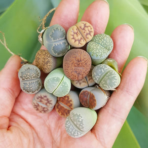 Lithops Assorted