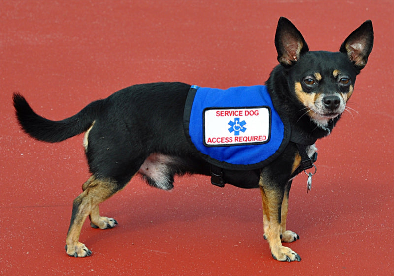 service dog chihuahua on a red carpet offering assistance