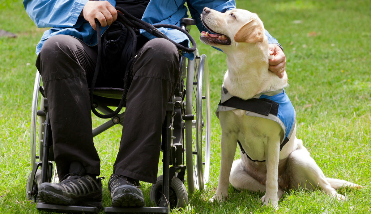 therapy dog showing love to an elderly man in a wheelchair