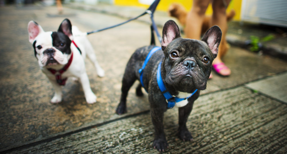 two french bulldogs on a leash being trained