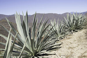 A Trip into Mezcal Country