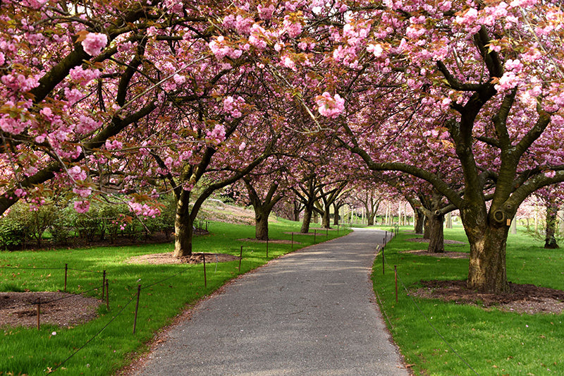 Cherry blossoms in Brooklyn Botanical Gardens