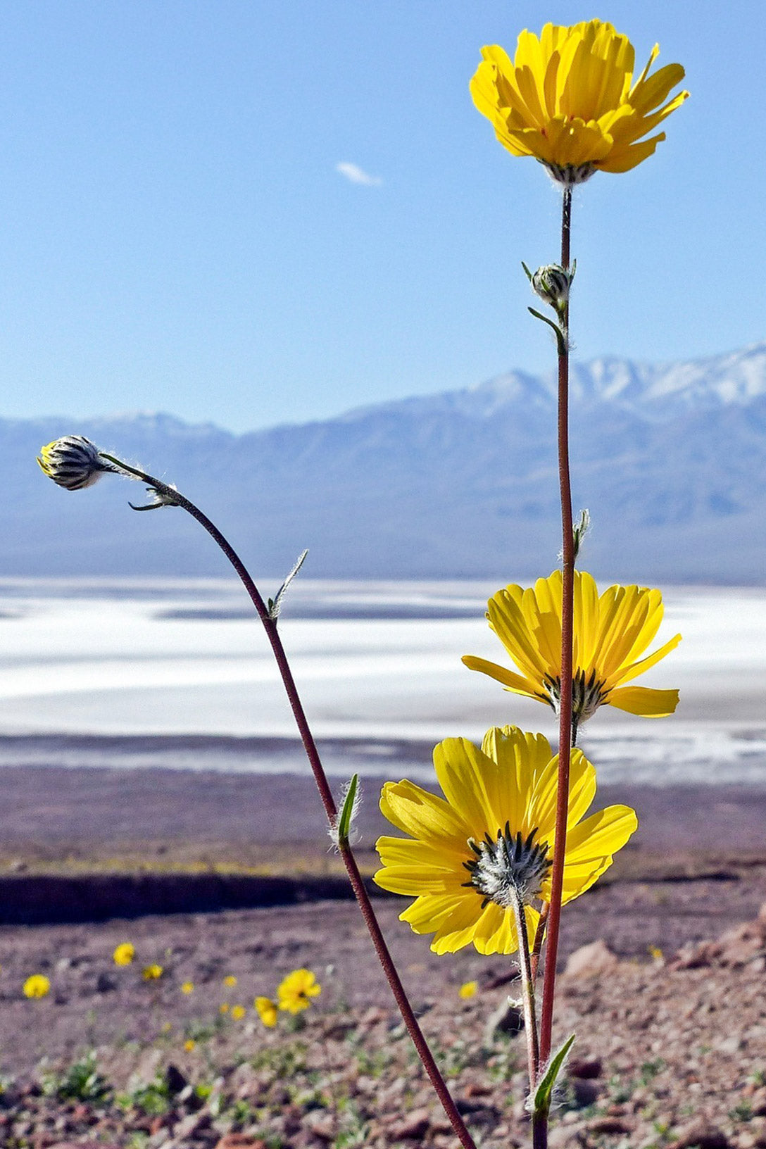 Death Valley National Park Bloom