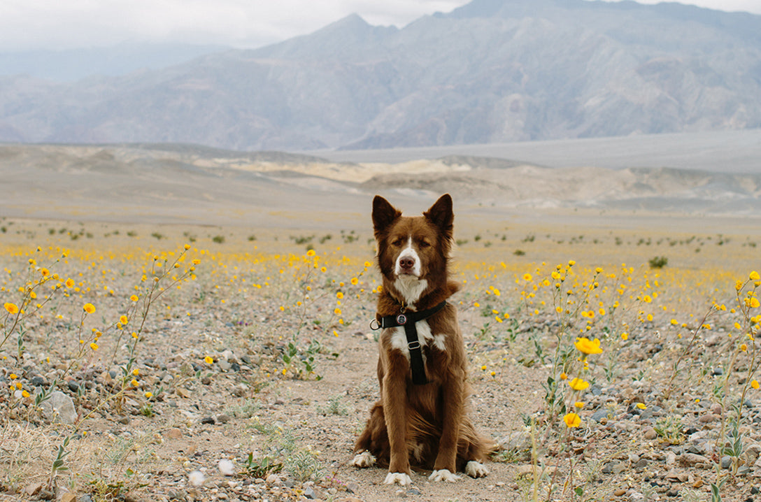 Death Valley Super Bloom Dog