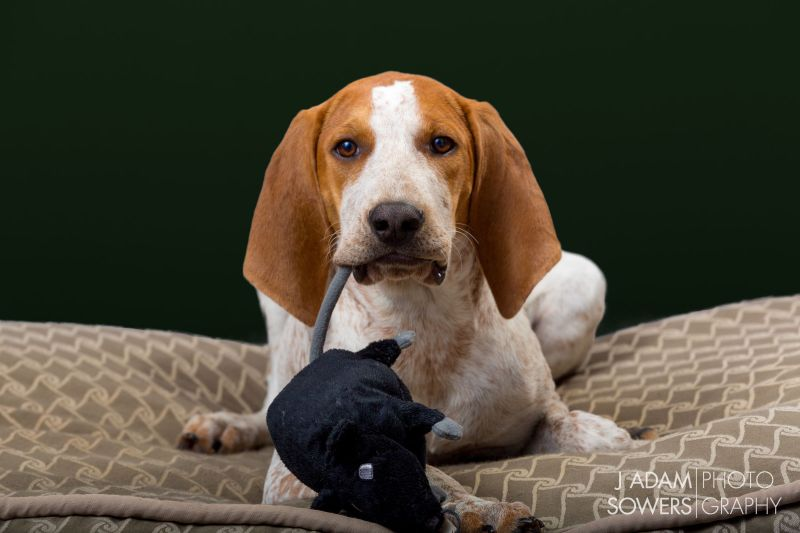 American English Coonhounds