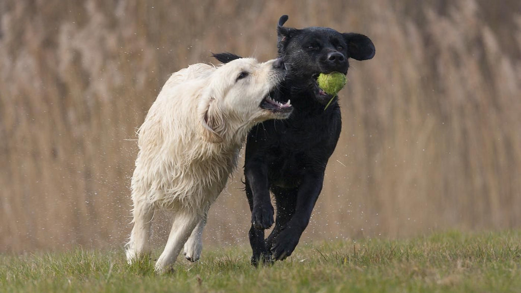 Golden Retriever vs Labrador? Labrador vs Golden Retriever? It's A Conundrum!