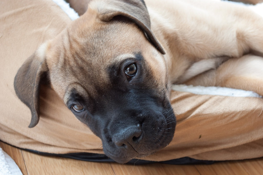 Bullmastiffs facts