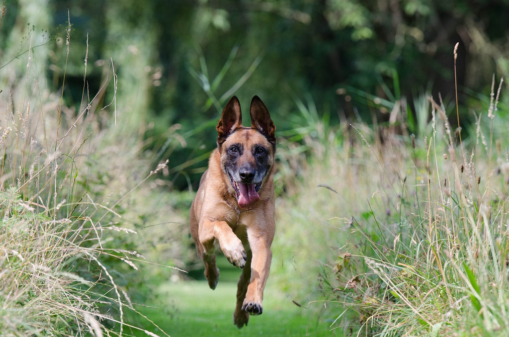 Belgian Malinois facts