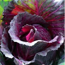 Cabbage - Red Ontario