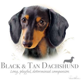 Black and Tan Dachshund tshirt - TshirtNow.net - 2