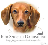 Red Smooth Dachshund Tshirt - TshirtNow.net - 2