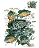 Crappie Collage Fish Tshirt - TshirtNow.net - 2