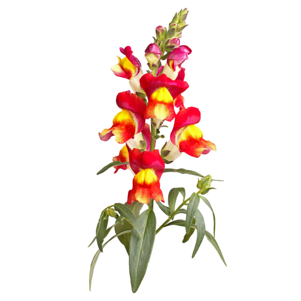 Semillas Brighton Rock Snapdragon