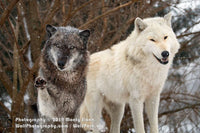 Wolf Photos by Monty Sloan