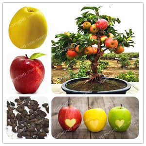 100 Pcs Organic Delicious Sweet Apple Bonsai Rare Fruit Tree Four Season Sowing Green Potted Healthy Garden