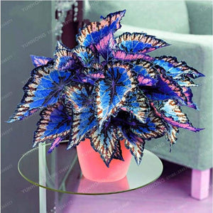100Pcs Japanese Bonsai Coleus Plant Foliage Plants Perfect Color Rainbow Dragon Beautiful Flower Garden Semente