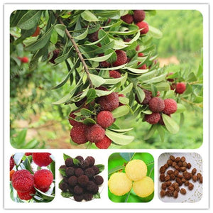 5 Pcs Chinese Myrica Rubra Bonsai Perennial Red Blue Arbutus Organic Taste Sweet Delicious Fruit Tree