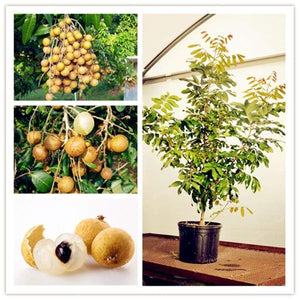 Dimocarpus Longan Bonsai Organic Fruit Dragon Eye Tropical Tree Plant For Diy Home Garden Plants 5 Pcs/Pack