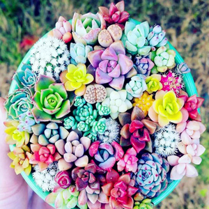 100 Seeds Rare Colorful Mini Succulent Cactus
