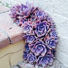 Load image into Gallery viewer, purple succulents