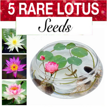 Load image into Gallery viewer, 5 Lotus Seeds