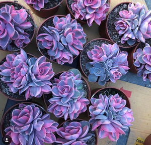 Rare Purple Succulents (100 seeds)