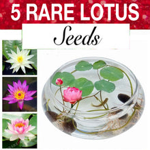 Load image into Gallery viewer, 5 Lotus Seeds | Bonsai Bowl Flowers